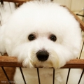 ビションフリーゼのカットスタイル Doggie-Do