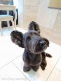スコッチのカットスタイル Doggie-Do