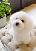 ボロニーズのカット Doggie-Do