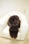 チワプーのカットスタイル Doggie-Do