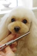 トイプードルのカット Doggie-Do