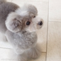 トイプードルのカットスタイル Doggie-Do