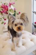 ヨーキーのカットスタイル Doggie-Do