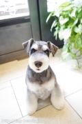 シュナウザーのカットスタイル Doggie-Do