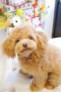 トイプードルのパピーカットスタイル Doggie-Do