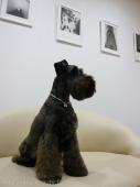 シュナウザーのドックスタイル Doggie-Do