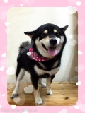 柴犬・シャンプーコース♪