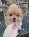 スッキリ桃尻☆柴犬カット