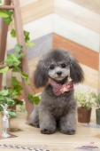 カットモデル犬募集中♪【スタッフのトリミング技術向上のため】