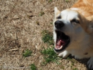 犬を留守番させていたら、いつも吠えるから、お隣さんからクレームがっ!