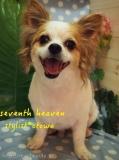 チワワ★Seventh Heaven