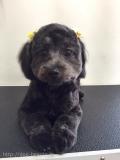 ドリーちゃんの子犬カット